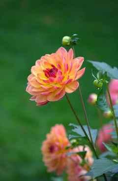 melisa flower