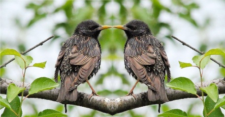 starlings-1