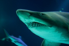 shark-1384087