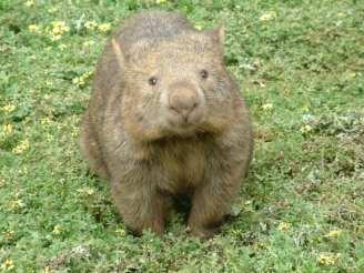 wombat-1511885